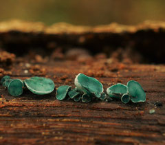 Kopergroenbekerzwam - Chlorociboria aeruginosa
