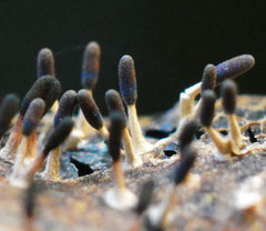 Witpootglinsterkopje -  Diachea leucopodia(zeldzaam)