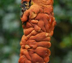 Rozetkussentjeszwam - Hypocreopsis lichenoides