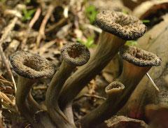 Hoorn van overvloed- Craterellus cornucopioides (Duitsland)