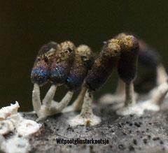 Witpootglinsterknotsje -  Diachea leucopodia (zeldzaam)