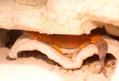 Electric Tangerine Weibchen beim relaxen