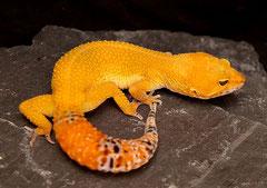 RUBY, Tangerine Tornado Weibchen, Foto von 2009