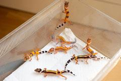 Während das Aufzuchtterrarium gereinigt wird, müssen die Kleinen kurz in eine Faunabox
