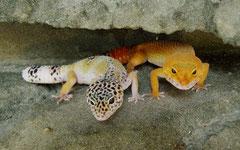 GINGER, Mack Snow Ghost Speckled Weibchen und RUBY, Tangerine Tornado Weibchen