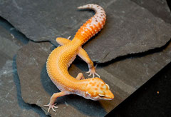 Super Tangerine Albino APTOR