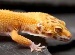 Tangerine Bell Albino