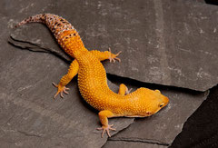 LUCY, Electric x Tangerine Tornado Weibchen