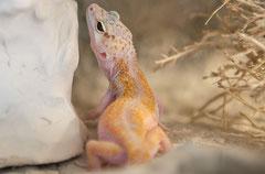 MANDARINA, White & Yellow Weibchen