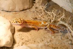 PASCHA, Red Stripe Männchen