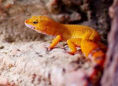 RUBY, Tangerine Tornado Weibchen