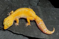 SUNNY,  Sunglow Tremper Albino het. Raptor Weibchen