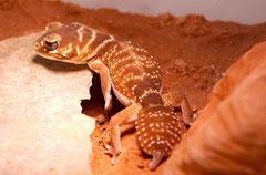 Der knopfartig verdickten Schwanzspitze verdankt der Kopfschwanzgecko seinen deutsche Bezeichnung, auch im englischen wird mit Knobtailgecko darauf Bezug genommen