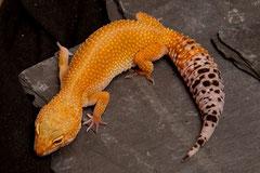 PAPILLON, Electric x Hotgecko cross Weibchen