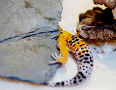 DOTTIE, Electric x Hotgecko cross