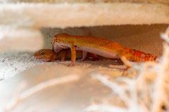 CHILI, Electric Tangerine Männchen beim Paarungsbiss