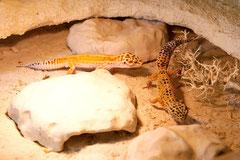 PASCHA, Red Stripe Männchen und DOTTIE Electric x Hotgecko cross Weibchen