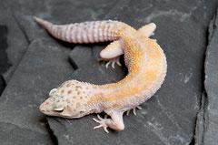 MANDARINA, White & Yellow (Callico) Weibchen 2010