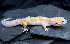 LIMEY, White & Yellow (Callico) Männchen 2010