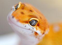 CHILI, Electric Tangerine Männchen