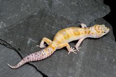 LIMEY, White & Yellow (Callico) Männchen, juvenil