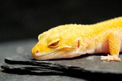 SUNNY, Tremper Sunglow Albino Weibchen
