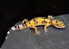 ABBY, Aberrant het Tremper Albino Weibchen als Jungtier