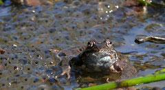 Frosch im Laich