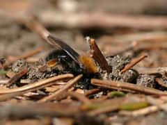 Weibchen beim Eingraben