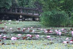 「睡蓮雨情」 神戸市立森林植物園 (堀本清子)