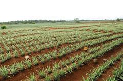 Monokulturen von Ananas bis zum Horizont- und täglich kommen viele Hektar dazu / Industrie / Ananas - Costa Rica