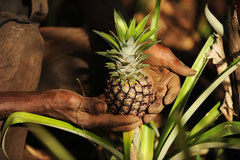 Eine kleine Bio Ananas / Öko/Bio Ananas - Uganda