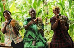 Arbeiterinnen bringen die Früchte auf Hochglanz / Öko/Bio Ananas - Uganda