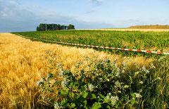 Markierte Genmais - Testfelder in Unterfranken / Bayern / Genmais - Deutschland