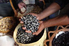 Saatgutproduktion mit alten Maissorten / Mais - Mexiko