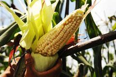 Organischer Mais aus Tlaxcala / Mais - Mexiko