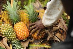 Die Ananas werden reif geerntet und von Kipepeo in Neuffen erntefrisch auf den Deutschen Markt gebracht / Öko/Bio Ananas - Uganda