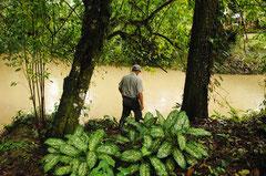 Ein Bauer schaut ratlos in einen der vergifteten Flüsse. Seit Jahren schwimmt keine der Anwohner mehr darin. / Industrie / Ananas - Costa Rica