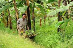 Kleinbäuerin bei der Ernte / Öko/Bio Ananas - Uganda