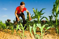 """Akteuren der Initiative """"Gendreck weg"""" gelingt es das Feld zu erreichen - der genmanipulierte Mais wird fachgerecht entsorgt.. / Genmais - Deutschland"""