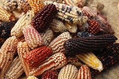 Die Farbenpracht der alten Maissorten / Mais - Mexiko