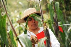 Kleinbauern auf der Suche nach gentechnisch verseuchten Mais / Mais - Mexiko