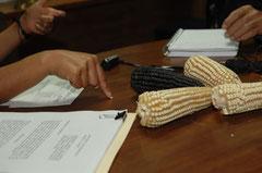 Der Schutz alter Maissorten - ein Politikum in Mexico / Mais - Mexiko
