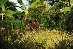 Mischkulturen sorgen für etwas Beschattung und sind Grundlage für die Ernährung der Kleinbauern / Öko/Bio Ananas - Uganda