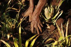 Eine Wissenschaft für sich - die Pflege der fruchtbaren Erde in den Ananaskulturen / Öko/Bio Ananas - Uganda