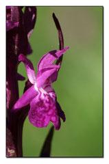 Dactylorhiza majalis - Orchis de mai