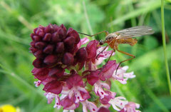 Pollinisateur sur Neotinea ustulata