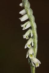 Spiranthes spiralis -  Spiranthes d'automne