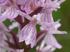 Dactylorhiza maculata -  Orchis tacheté