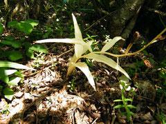 Cephalanthera longifolia achlorophilienne